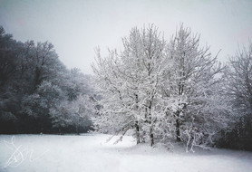 Lonely trees in the snow