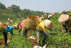 La recolección de hojas de té