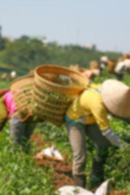 Récolte de thé pour Nüssa