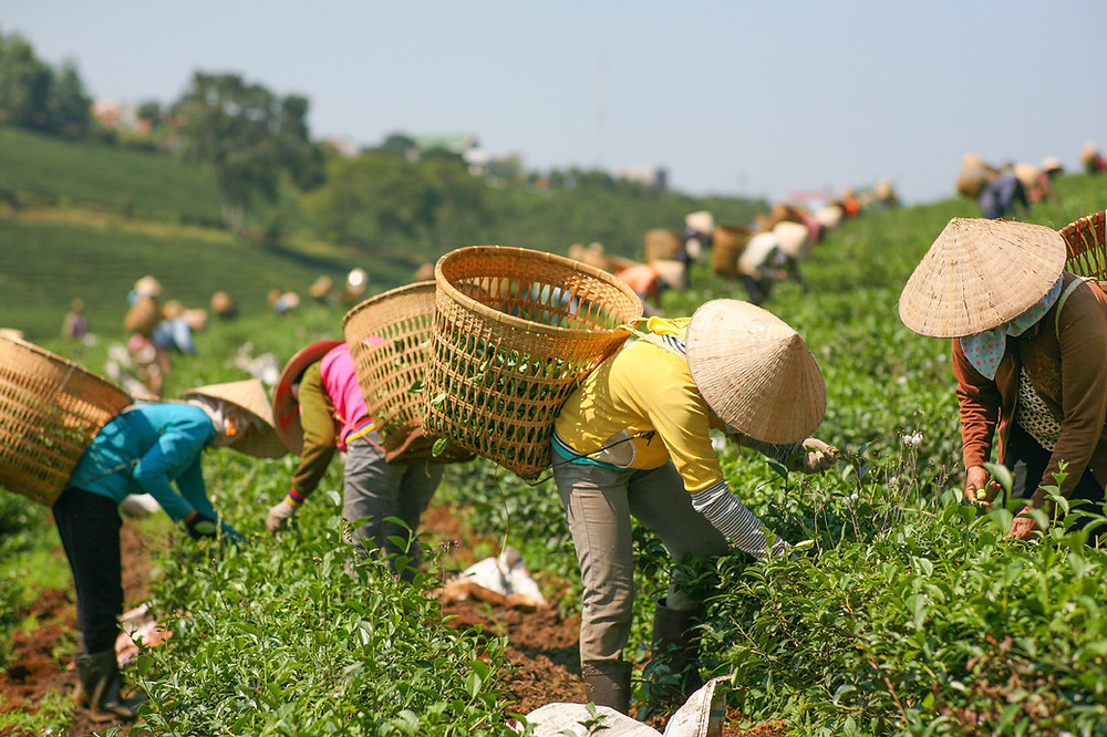 Tea workers picking tea in tea plantation