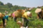 La récolte de feuilles de thé