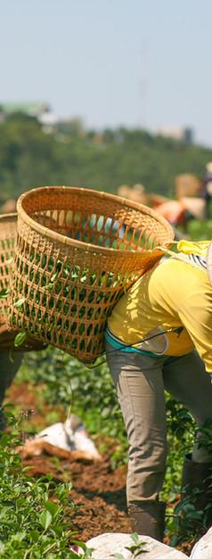 Nông dân thu hái trà xanh