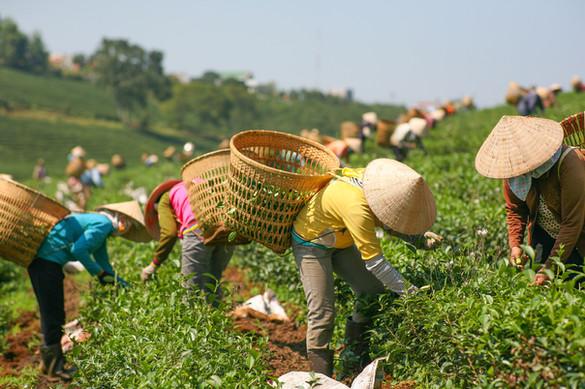 Harvesting Tea Leaf VIETNAM