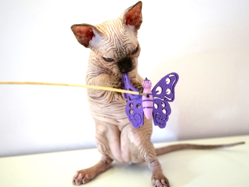 Butterflies Sphynx Cattery