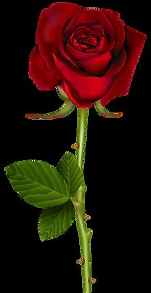 Red_Rose_PNG_Transparent_Image.png