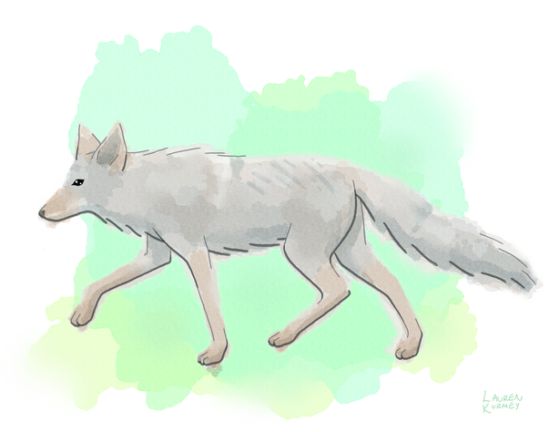 405 coyote sm.png