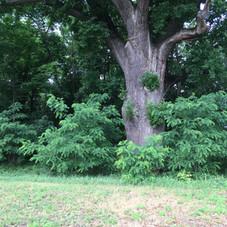 Tree marking entrance to Konopat cemetery