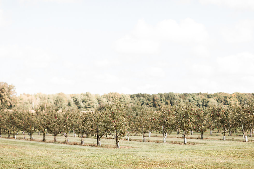 Apple trees in lines in an orchard on a sunny day