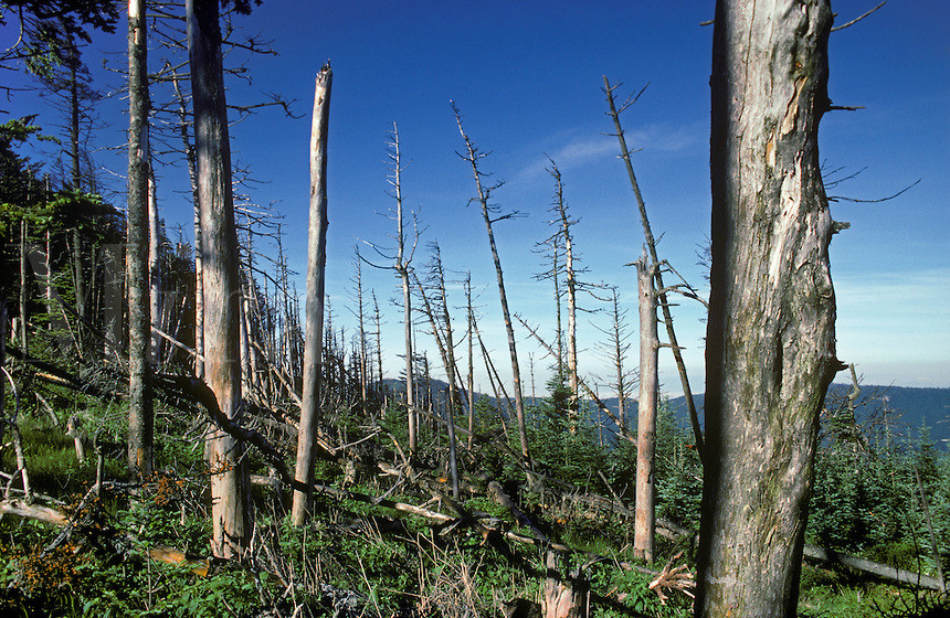 www.alamy.com,  Mt. Mitchell, NC, acid rain damage