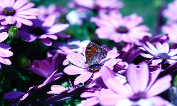 papillon ccpictures
