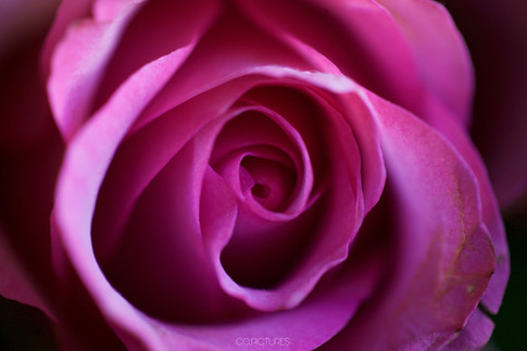 rose nature ccpictures