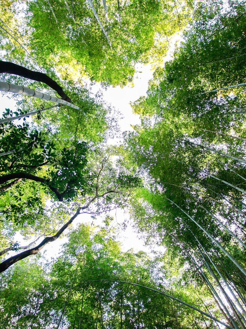bambouForestKyotoJaponCCpictures