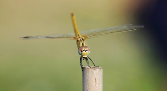 libellule nature ccpictures