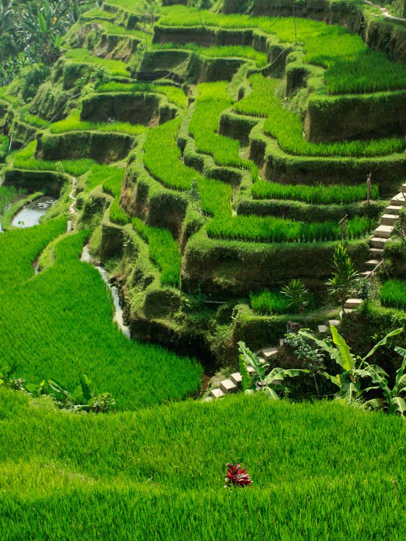 rizièreUbudIndonesieCCpictures