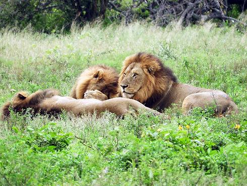 Flitestar Kosi Forest Lodge Lion.jpg