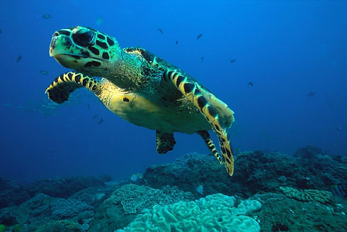 Thonga Beach Lodge Turtle.jpg