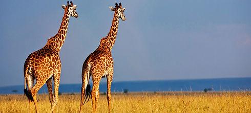 Selous Giraffe.jpg
