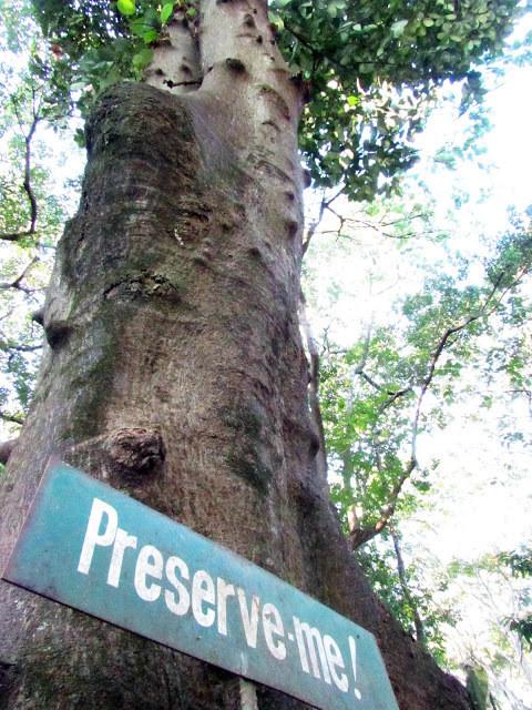 A foto mostra uma árvore alta, com tronco grosso, e sua copa está bem lá no alto. Na base dela tem uma placa escrito: Preserve-me!