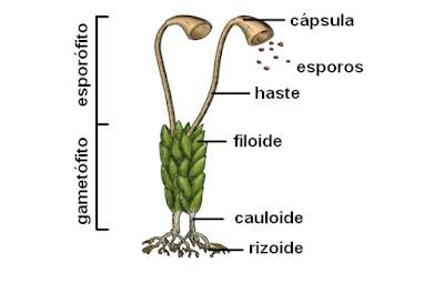 estrutura das briófitas