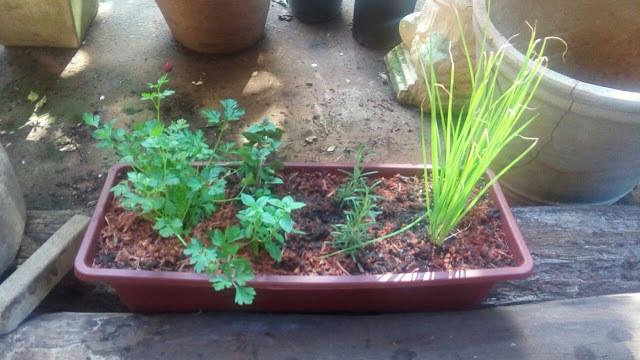 Salsinha, manjericão, alecrim e cebolinha no vaso