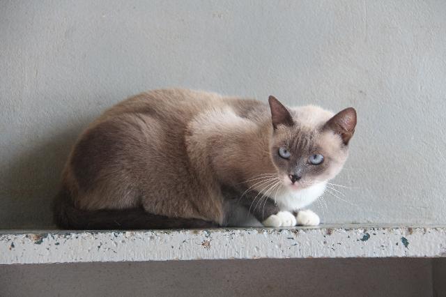 A foto mostra um gato marrom claro e olhos azuis olhando para a câmera em alerta.