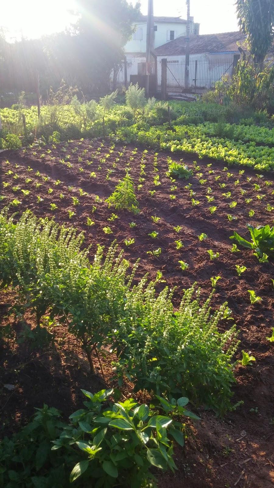 A foto mostra as verduras plantadas na terra. A terra está roçada, o dia está com sol. E as plantas estão crescendo.
