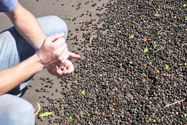 Homem pega a semente de café na mão