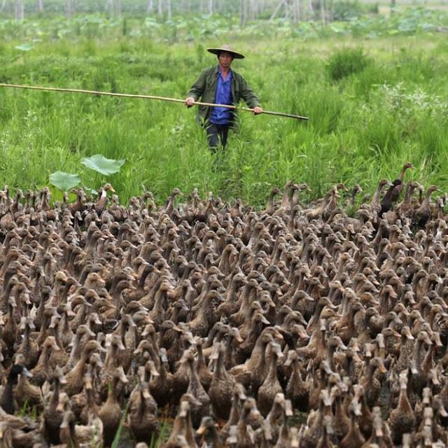 Milhares de patos soltos para comer gafanhoto.