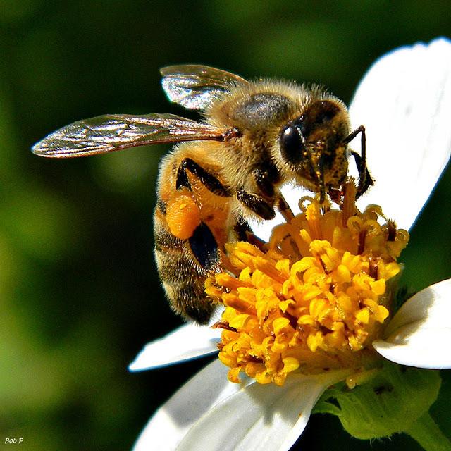 A foto mostra uma abelha polinizando uma flor. A abelha é amarela com pintinhas pretas, olho redondo preto e asas transparentes. A flor possui pétalas brancas e no centro dela é amarelo.
