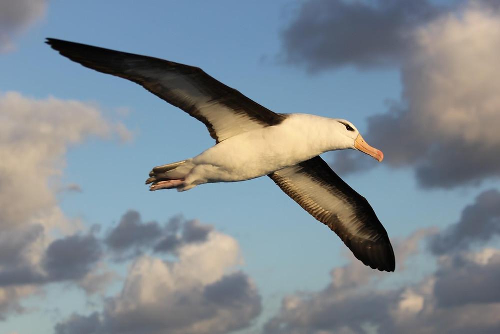 A foto mostra um Albatroz voando. Albatroz é uma ave.