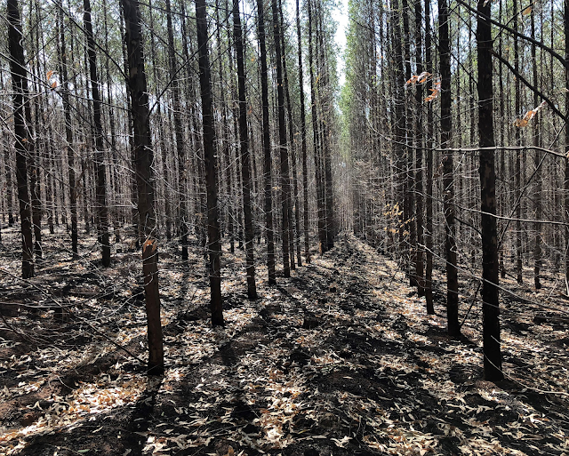 A imagem fileiras de plantação de eucaliptos (que não eram para estar ali). Também tiveram seus troncos e copas queimados.