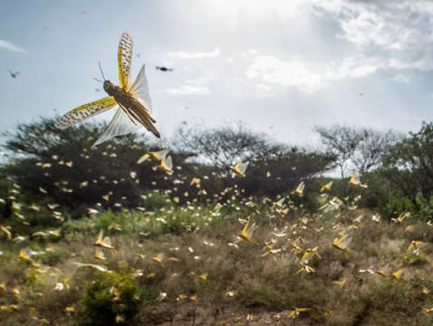 Entenda a crise dos gafanhotos no Brasil e no mundo