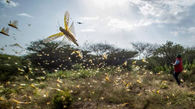 A foto mostra muitos gafanhotos voando em uma campina.