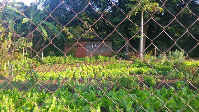 A foto mostra uma horta com hortaliças plantadas. A foto foi tirada atrás de uma grade.
