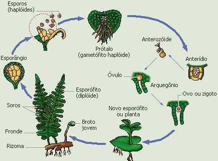 Reprodução das pteridófitas