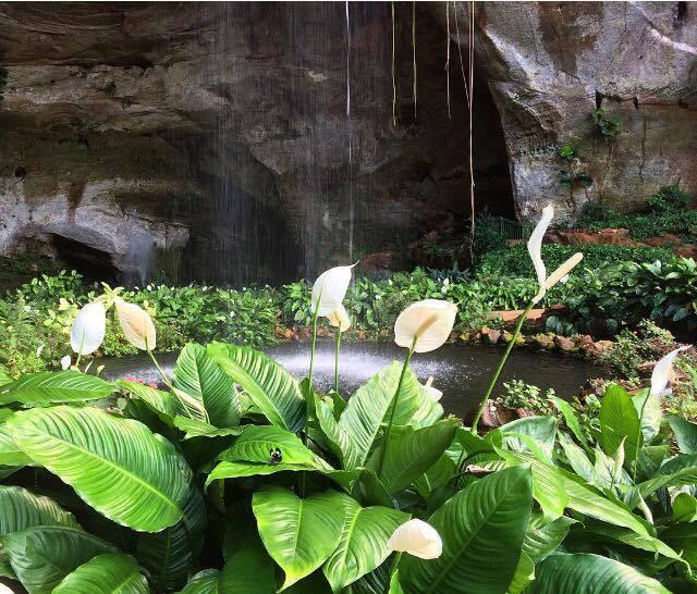 A foto mostra uma cachoeira. No fundo tem uma grande rocha escura, e a água cai por cima da rocha. No lago que se forma baixo, tem várias plantas por cima da água, e quatro flores brancas em formato oval.