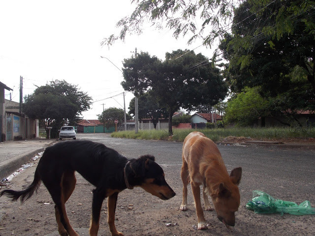 A foto mostra dois cachorros procurando comida no lixo jogado na rua. Os dois são porte médio. O da esquerda é preto, com patas e boca marrons. O da direita é cor caramelo, com patas brancas. Ao fundo se vê a rua asfaltada e árvores.
