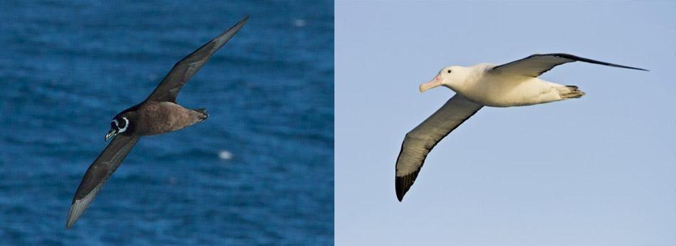 Pardela e albatroz voando