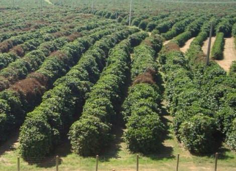 Plantações de café