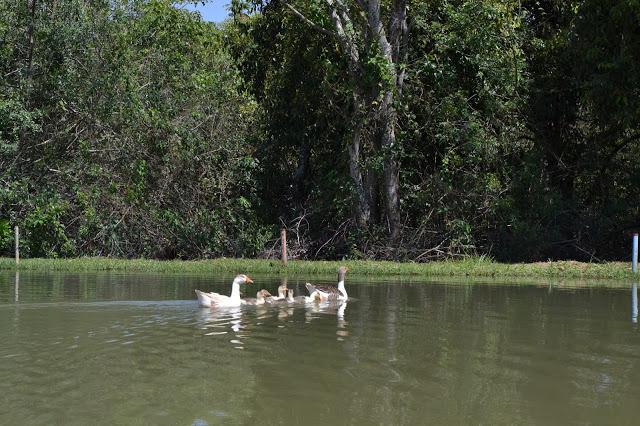A foto mostra uma família de patos nadando em um rio.
