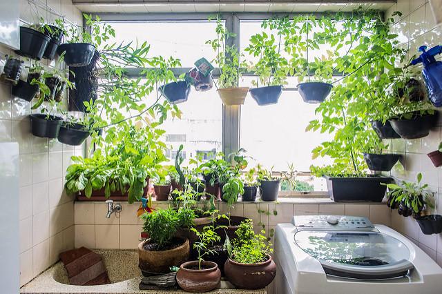 Área de lavar de uma casa, com vários casos de plantas nas paredes e janela
