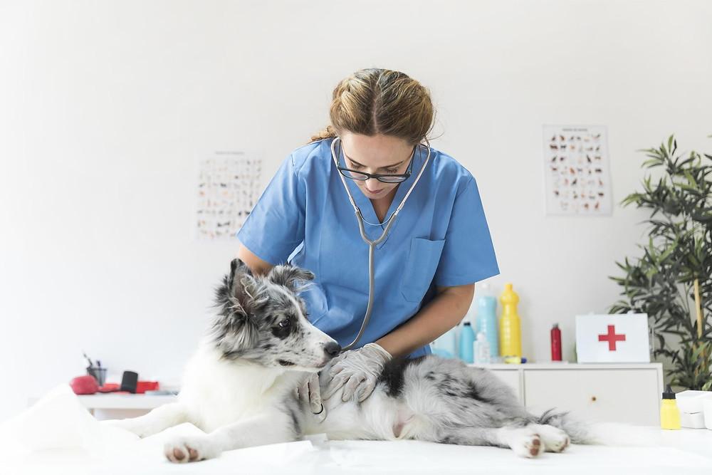 Uma mulher vestida de roupa azul com um estetoscópio examina um cachorro de porte grande, com pelagem de cor cinza, branco e preto.