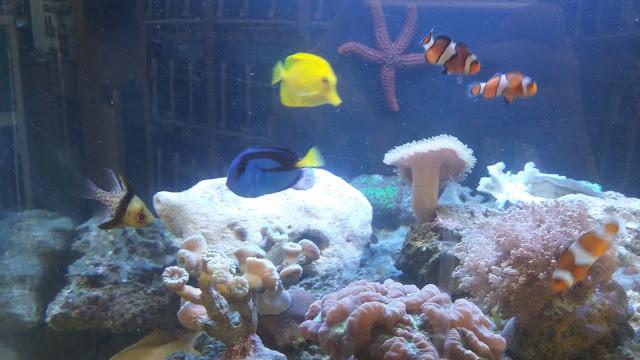 Peixe Cirurgião-patela em aquário