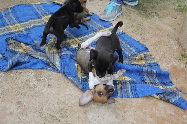 A foto mostra quatro cachorrinhos filhotes brincando em cima de uma coberta xadrez azul. Dois cachorrinhos são pretos, um é marrom e o outro é branco com marrom.