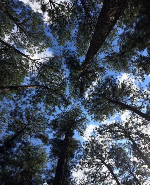 A foto foi tirada bem de baixo das copas das árvores. As árvores são bem altas e suas copas não se encostam. Dá para ver o seu azul algumas nuvens.