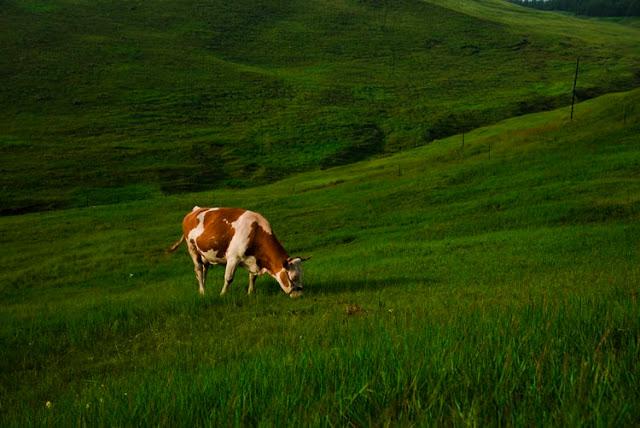 A foto mostra uma vaca branca com manchas marrons pastando.