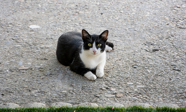 Gato de cores preto e branca olhando para a câmera, está sentado.