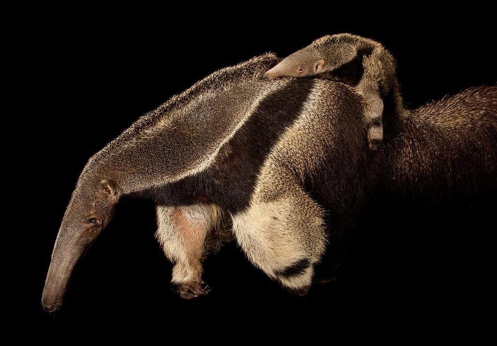 A foto mostra um tamanduá-bandeira e seu filhote.