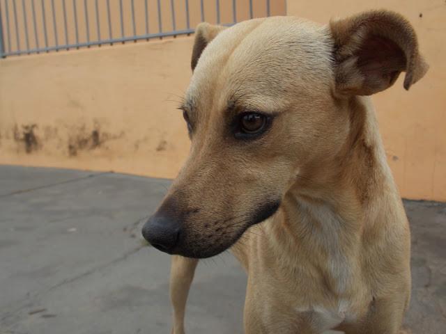 A foto mostra um cachorro com um olhar bem triste. Ele é porte médio, cor caramelo, focinho pra frente e olhos castanhos.