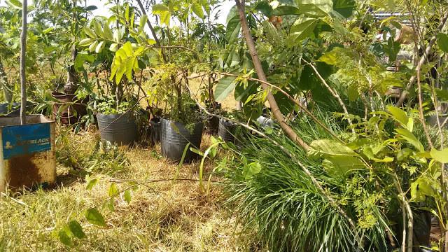 A foto mostra várias mudas de plantas juntas. No canto direito, há um arbusto. No centro tem uns vasos pretos com plantas dentro. O dia está ensolarado e as plantas são verdes.